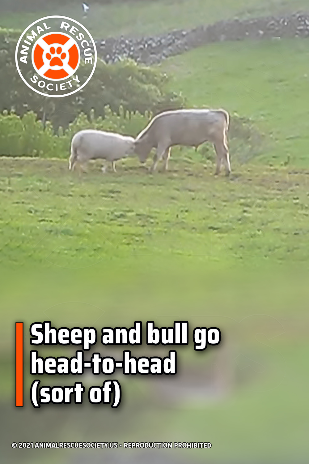 Sheep and bull go head-to-head (sort of)