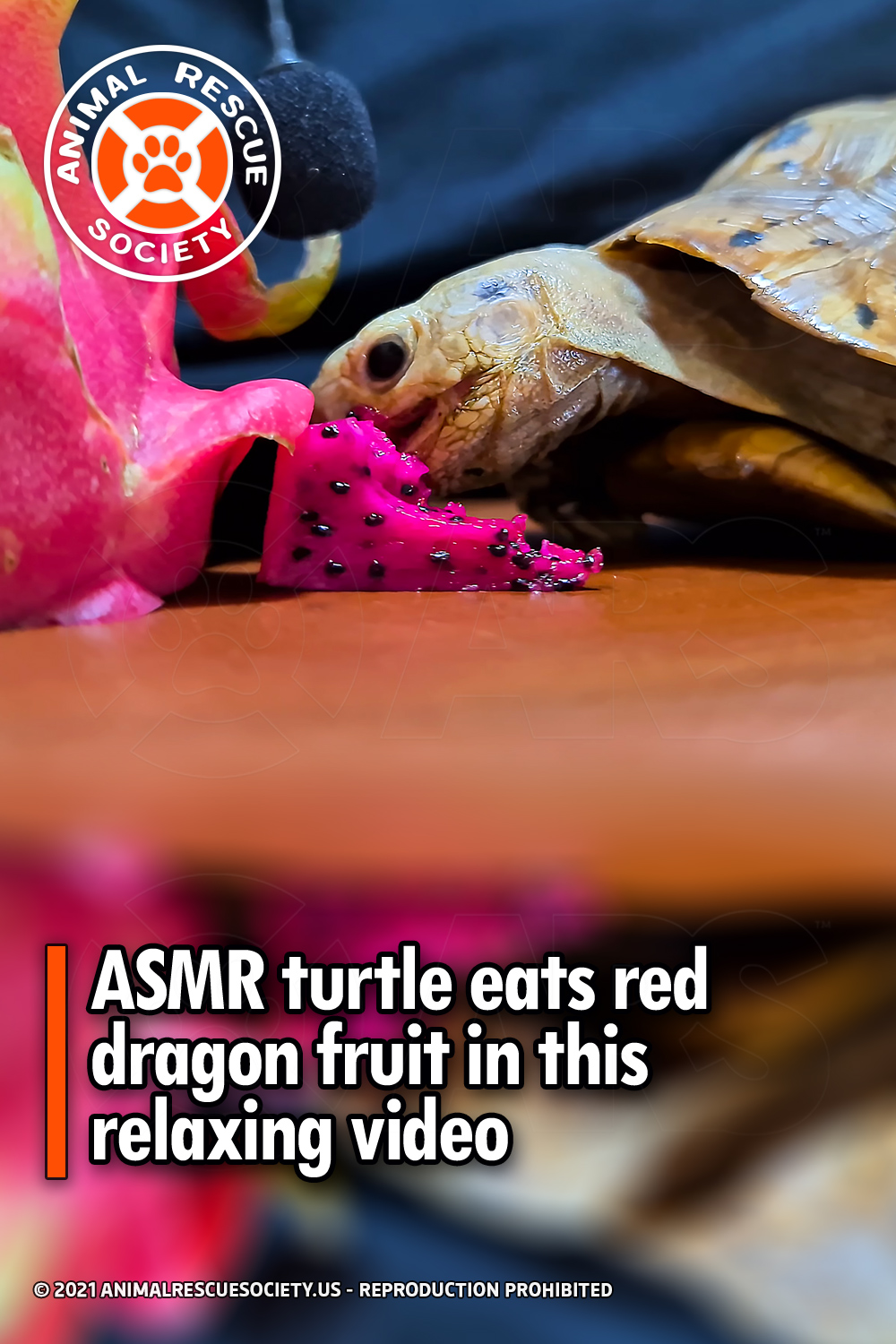 ASMR turtle eats red dragon fruit in this relaxing video
