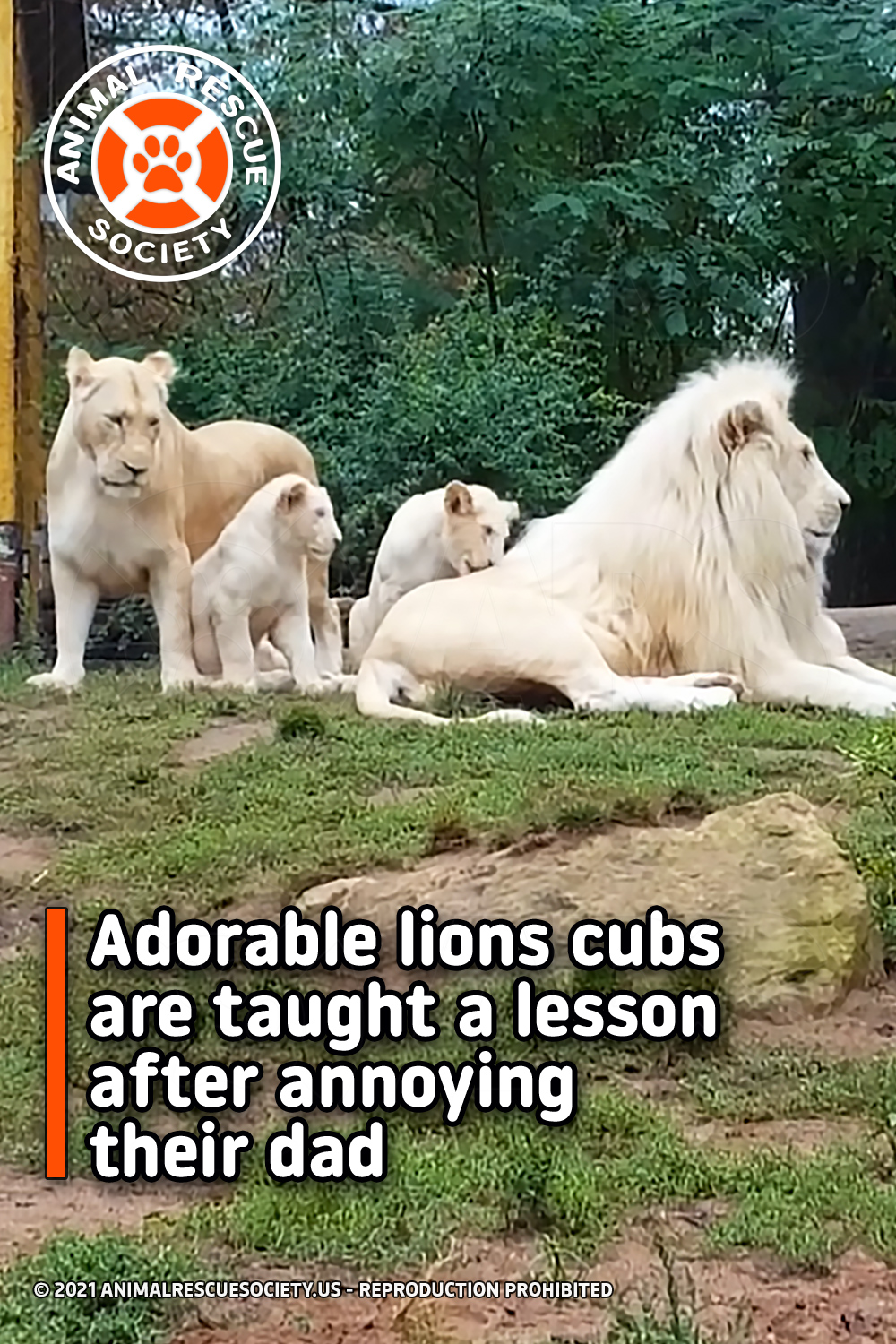 Adorable lions cubs are taught a lesson after annoying their dad