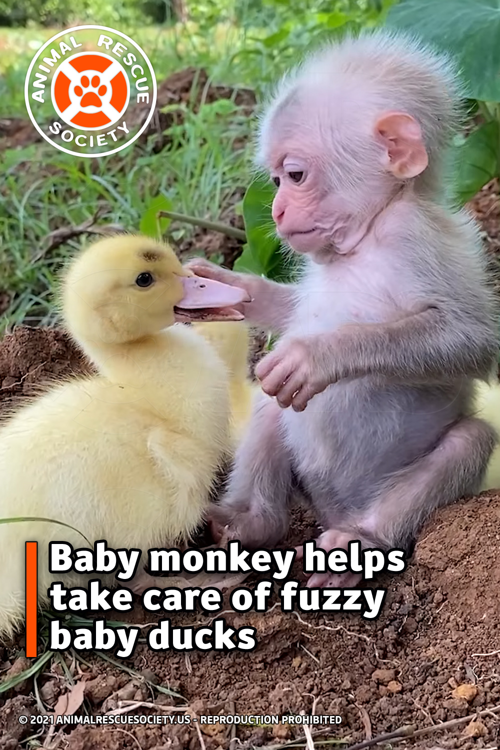 Baby monkey helps take care of fuzzy baby ducks