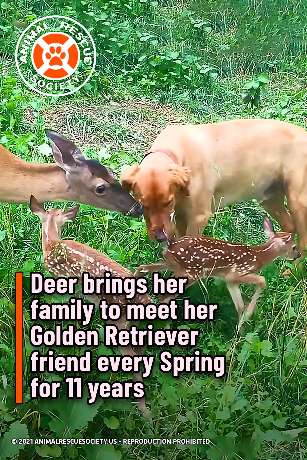 Deer brings her family to meet her Golden Retriever friend every Spring for 11 years