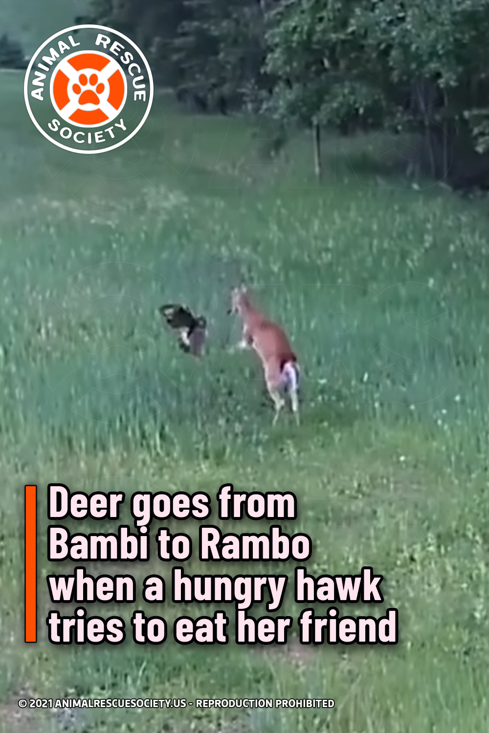 Deer goes from Bambi to Rambo when a hungry hawk tries to eat her friend
