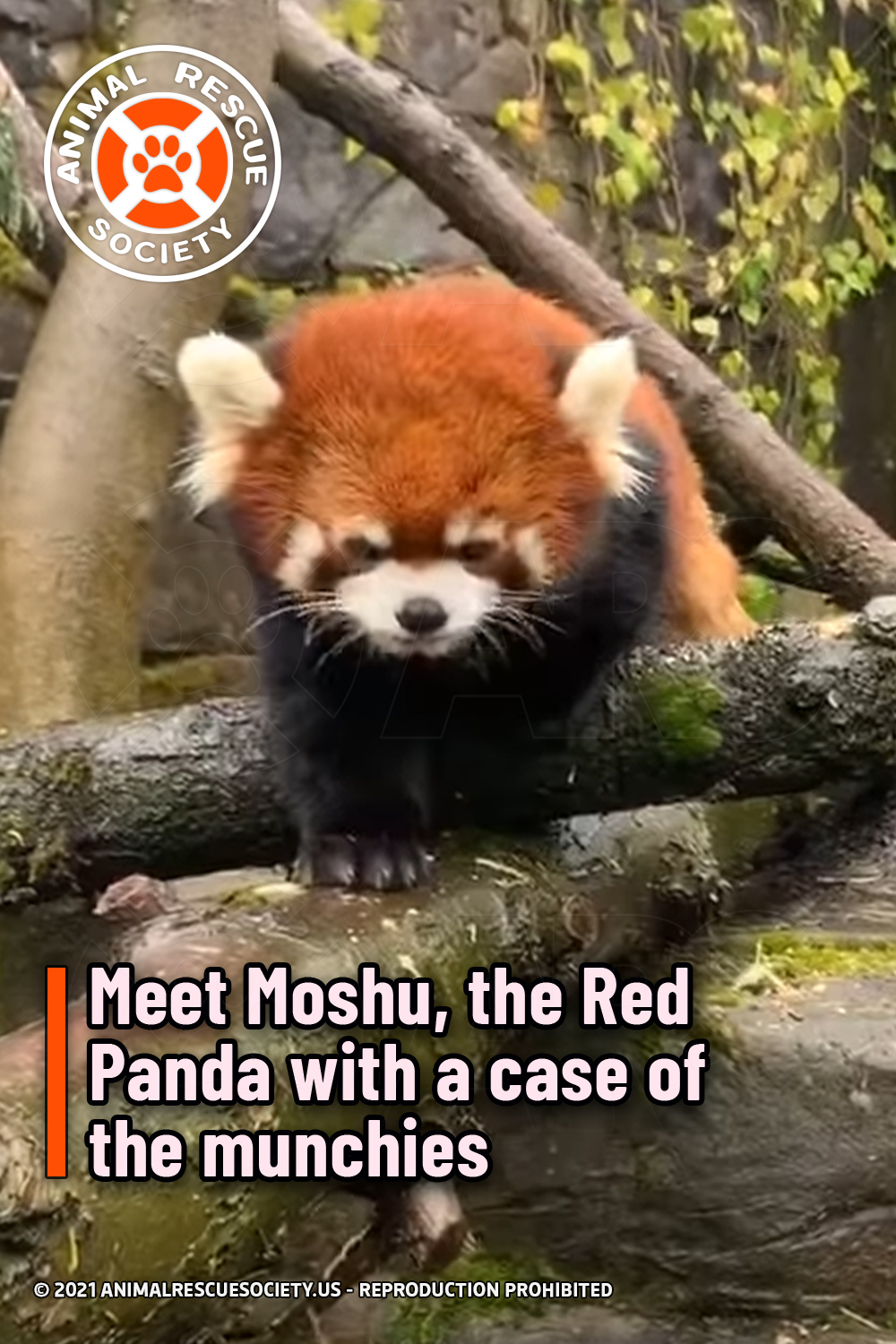 Meet Moshu, the Red Panda with a case of the munchies
