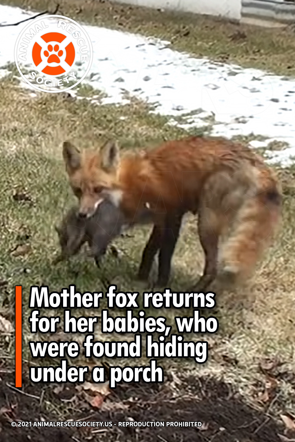 Mother fox returns for her babies, who were found hiding under a porch