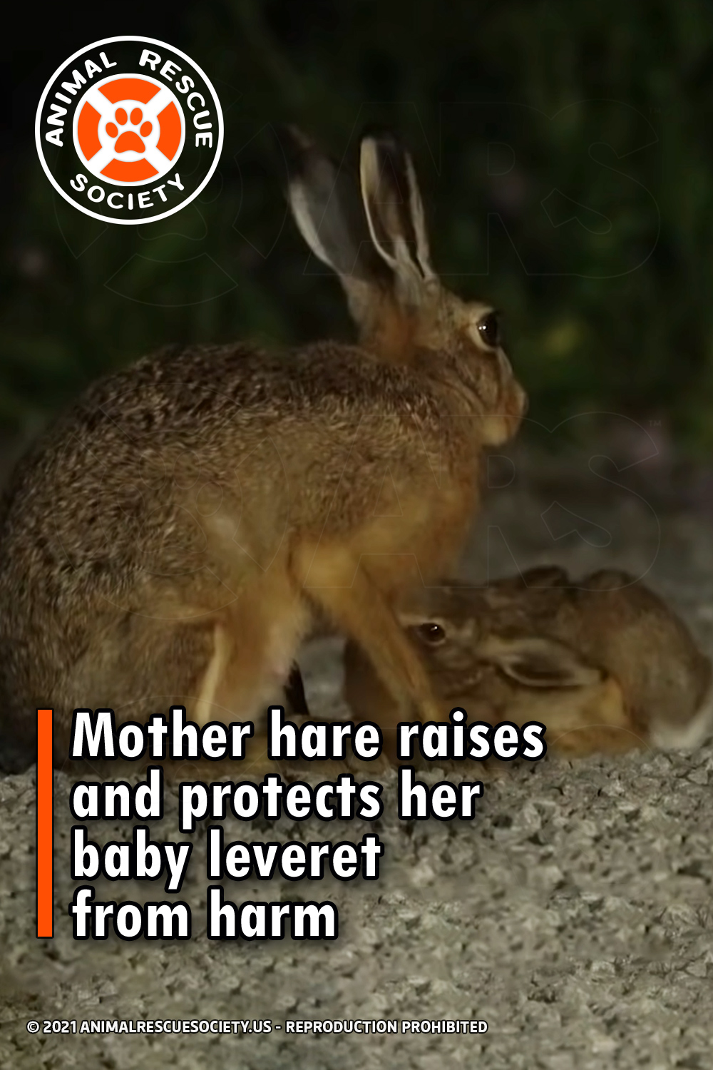 Mother hare raises and protects her baby leveret from harm