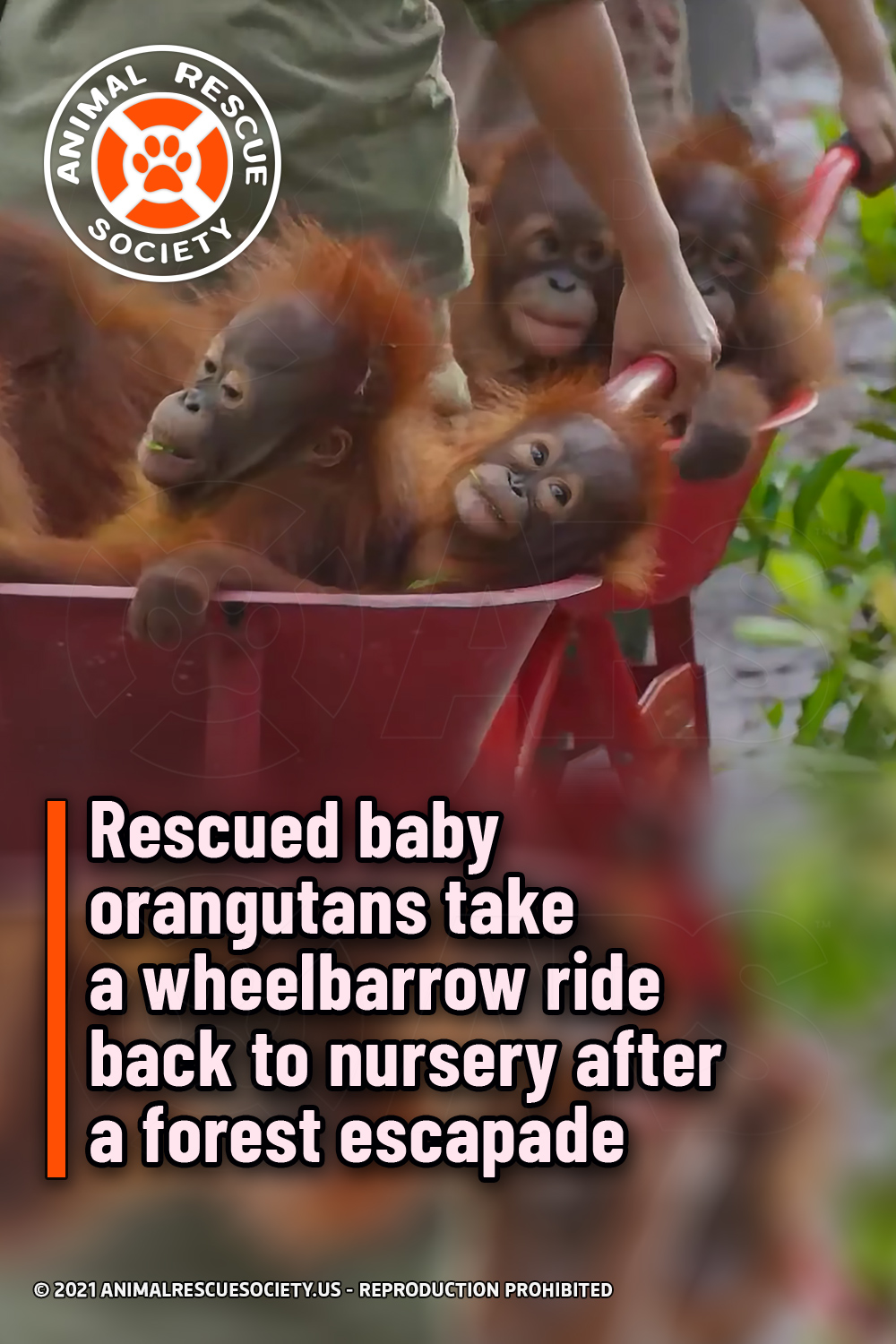 Rescued baby orangutans take a wheelbarrow ride back to nursery after a forest escapade