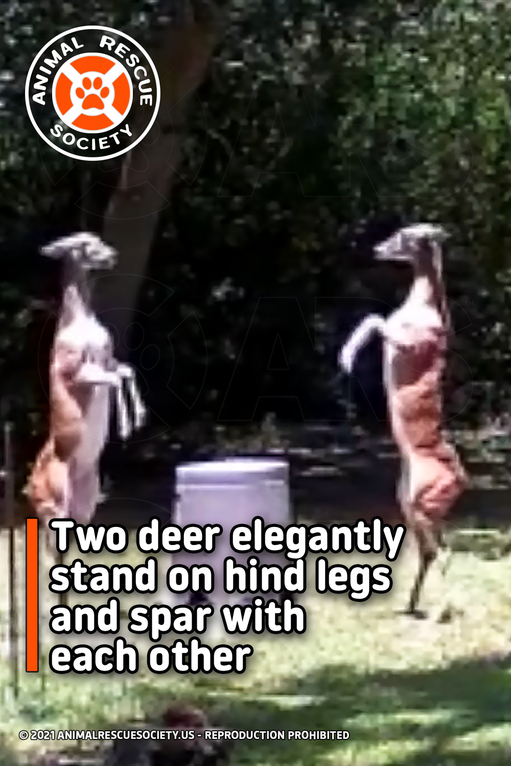 Two deer elegantly stand on hind legs and spar with each other