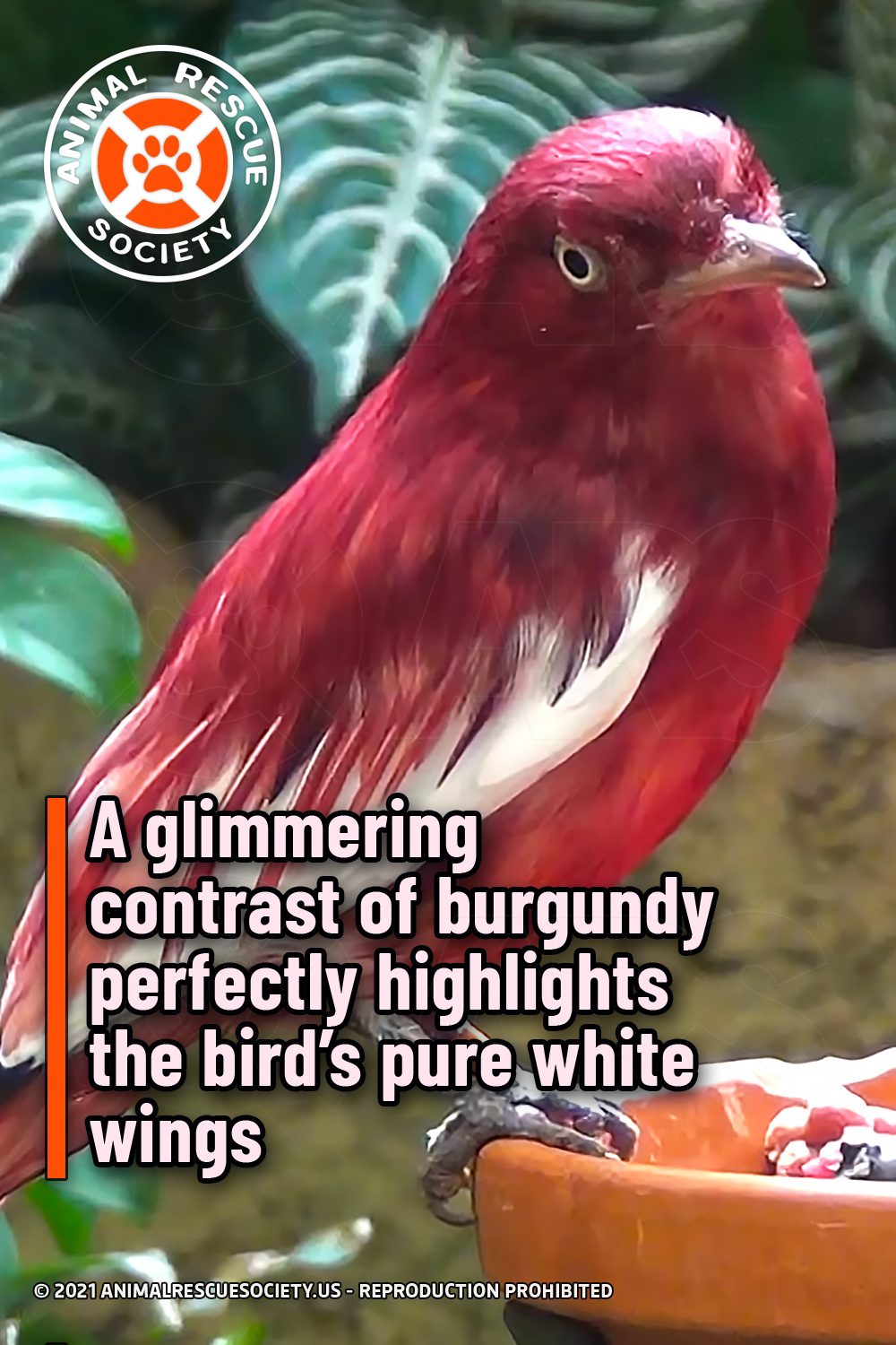 A glimmering contrast of burgundy perfectly highlights the bird's pure white wings