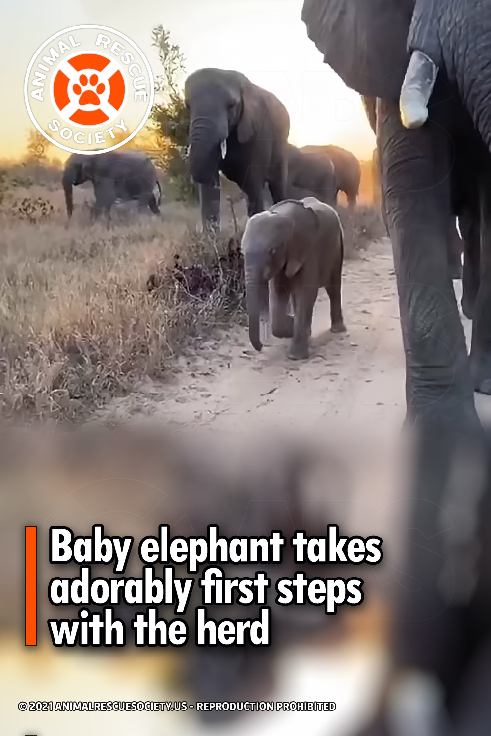 Baby elephant takes adorably first steps with the herd