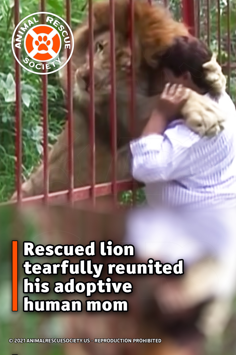 Rescued lion tearfully reunited his adoptive human mom