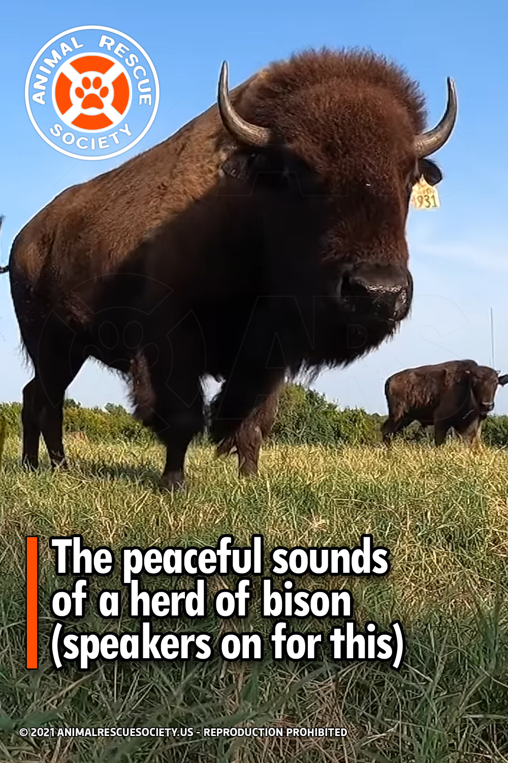 The peaceful sounds of a herd of bison (speakers on for this)