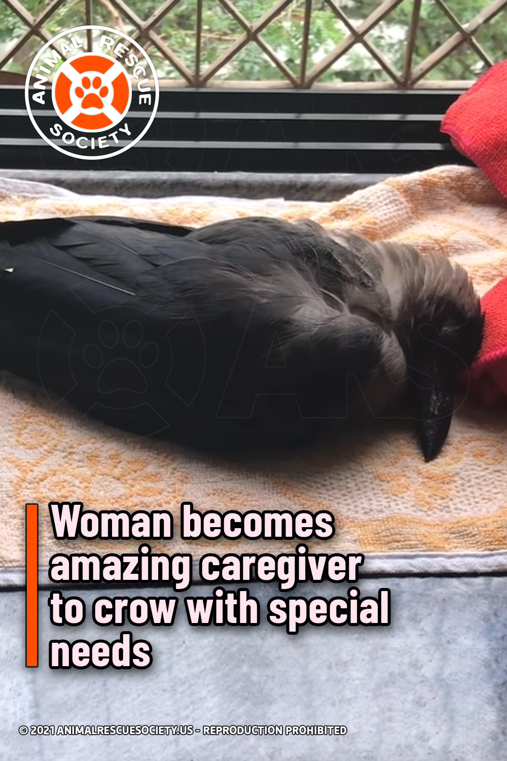 Woman becomes amazing caregiver to crow with special needs