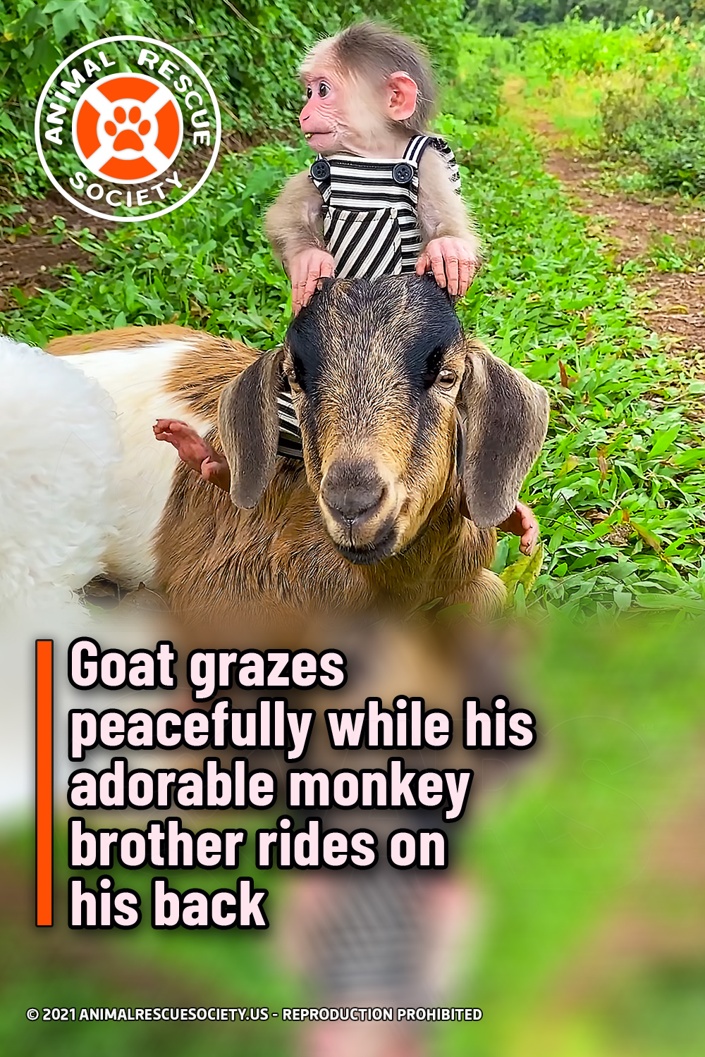 Goat grazes peacefully while his adorable monkey brother rides on his back